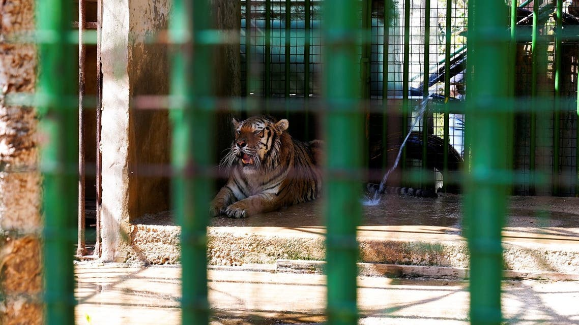 A tiger is seen at a zoo in Hazmieh, Lebanon June 28, 2021. Picture taken June 28, 2021. (Reuters)