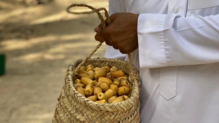 سعودی عرب: الاحساء میں تازہ کھجوریں اتارنے کا دلچسپ روایتی طریقہ