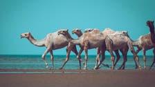 """هكذا ظهرت الإبل في """"رحلة خفاف"""" على ساحل البحر الأحمر"""