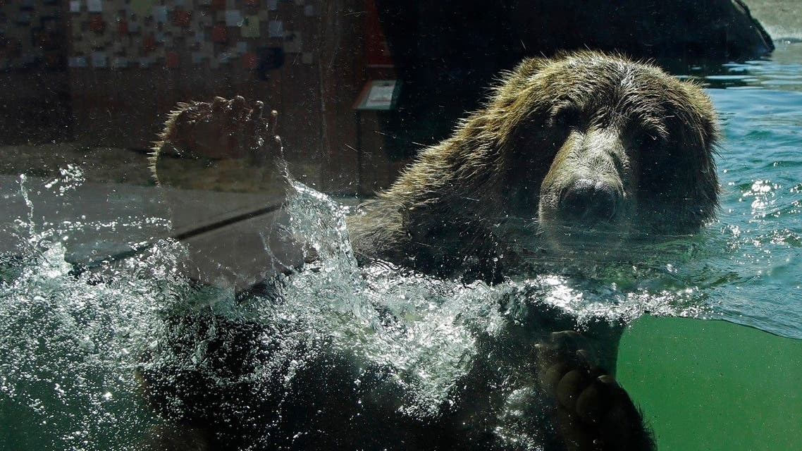 A bear swims in his habitat at the Oakland Zoo on July 2, 2020, in Oakland, Calif. Zoos and aquariums from Florida to Alaska are struggling financially because of closures due to the coronavirus pandemic.  (AP)
