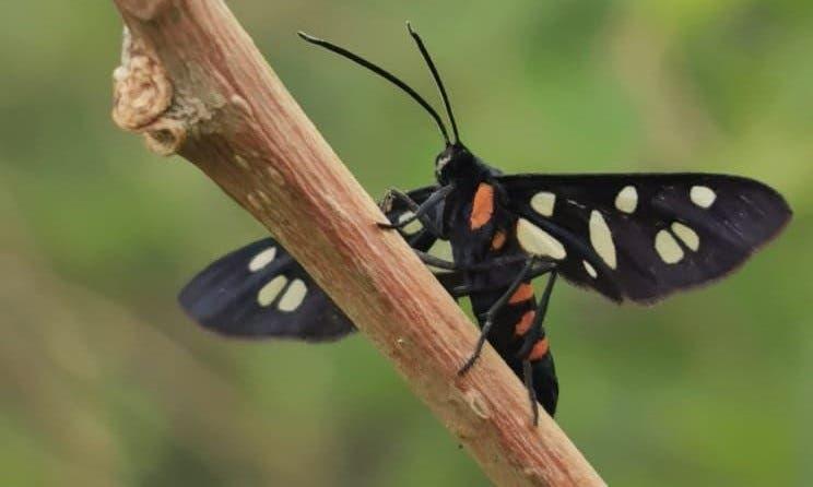 الفراشة السوداء