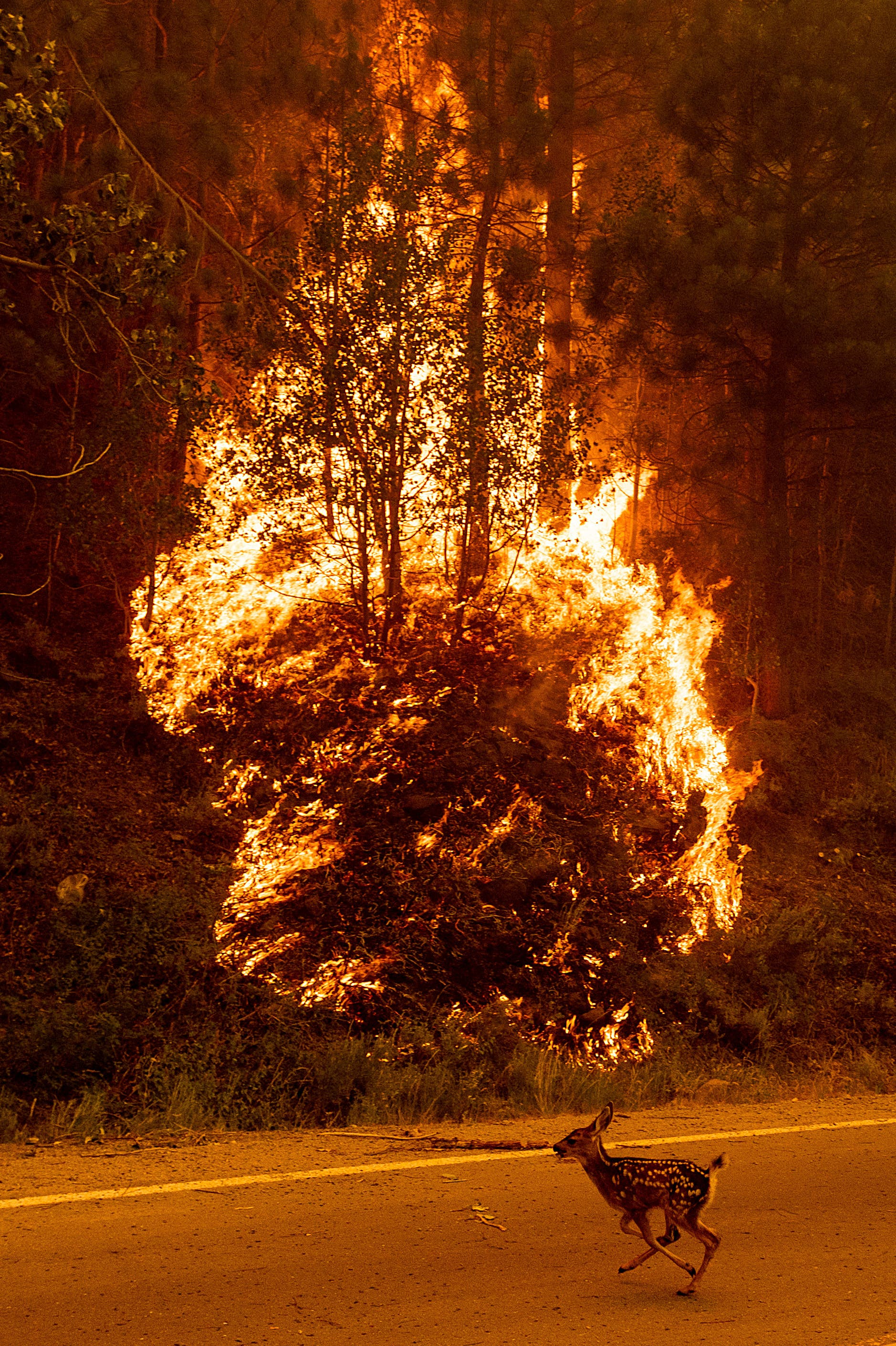 An animal sprints across a road as the Sugar Fire, part of the Beckwourth Complex Fire, burns in Plumas National Forest, California, on Thursday, July 8, 2021. (AP)