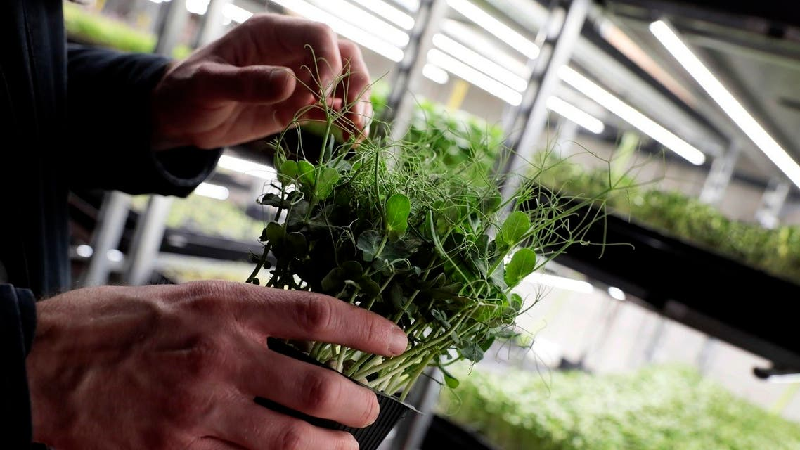 Vertical farming is booming in the UAE as the nation seeks to promote innovation-driven food security strategy, attracting and nurturing talent as well as investment. (File photo: AP)