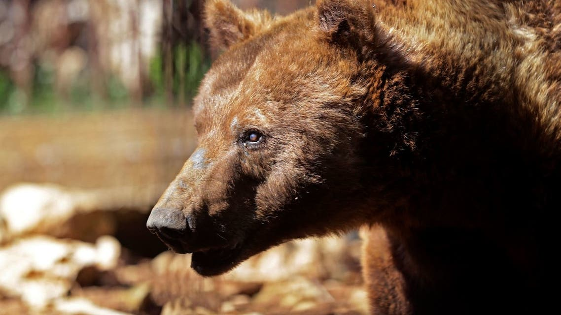 A Syrian brown bear, considered extinct in Lebanon, is pictured at the Animal Encounter environmental conservation centre in the Lebanese mountain town of Aley, southeast of the capital Beirut, on March 11, 2021. (AFP)