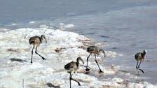 مرگ فلامینگوها در نمکزارهای دریاچه ارومیه