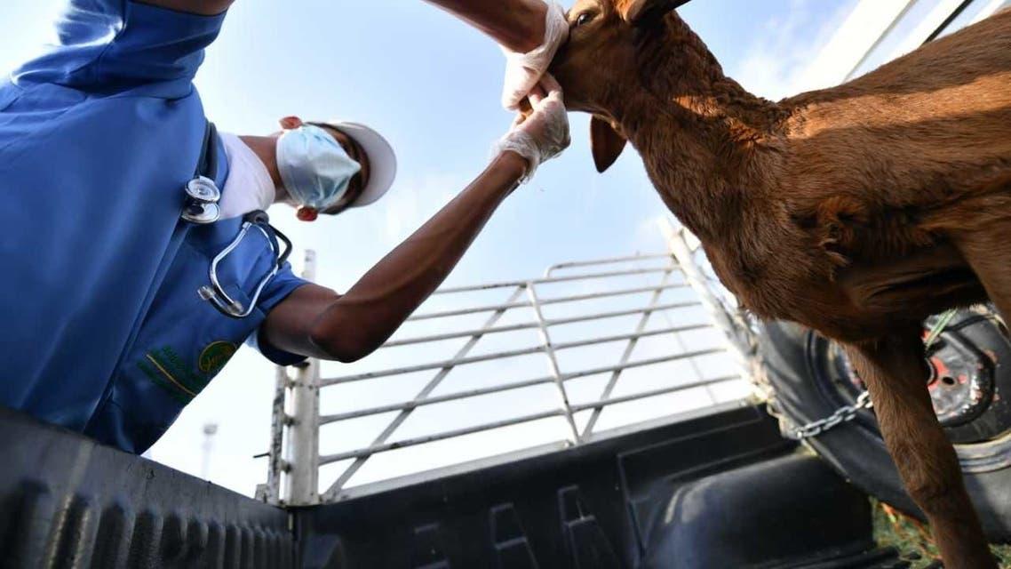 البيئة تفحص الماشية