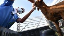 السعودية.. فسح 1,25 مليون رأس من الماشية خلال موسم الحج