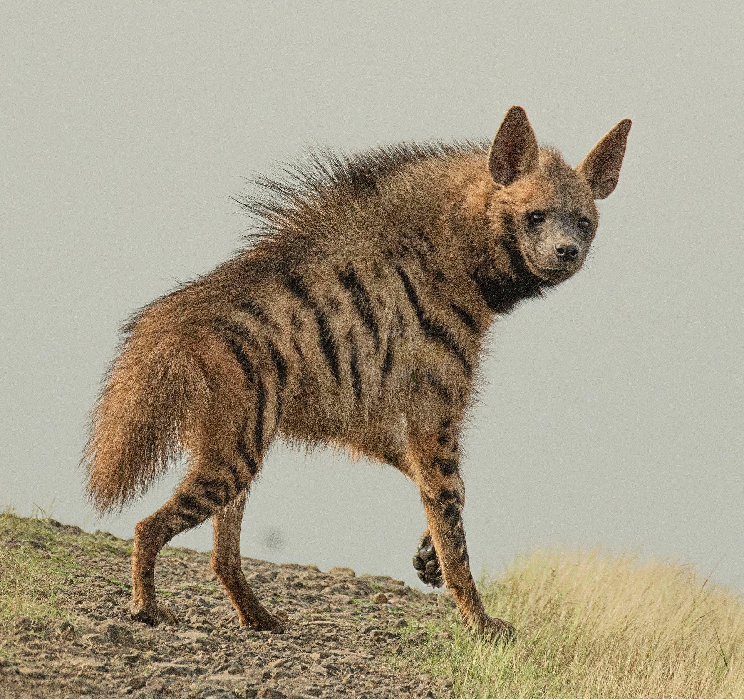File photo of a striped hyena. (Rushikesh Deshmukh)