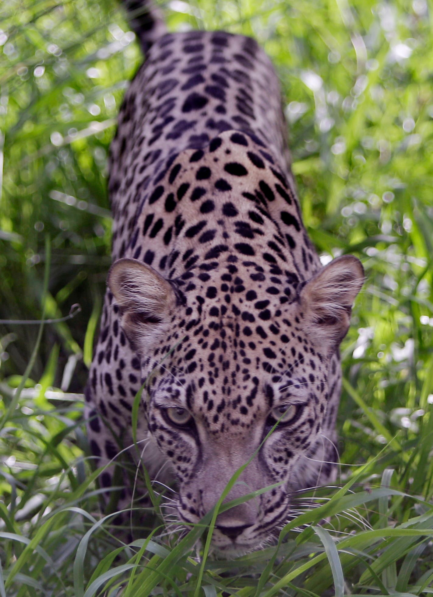 In this Tuesday, July 30, 2013 photo, a four year old Arabian leopard called Spoti approaches the camera at the Breeding Center for the Arabian Wildlife in Sharjah, United Arab Emirates. (File photo: AP)