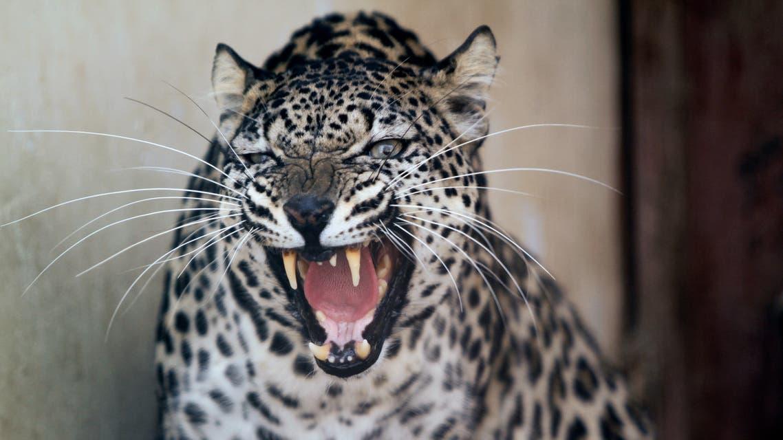 A female Arabian leopard is pictured at the Sanaa Zoo in Sanaa, Yemen January 20, 2020. Picture taken January 20, 2020. (Reuters)