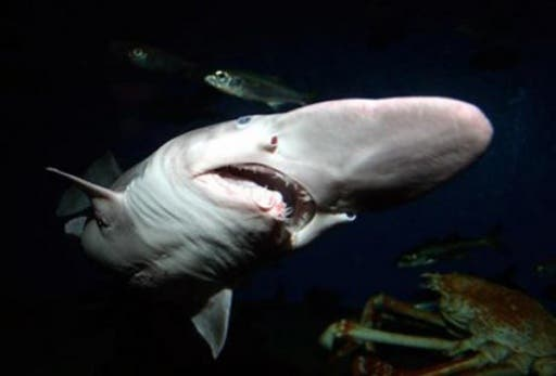 The goblin shark is a rare species of deep-sea shark and the only extant representative of the Mitsukurinidae family, a lineage some 125 million years old. (File photo)