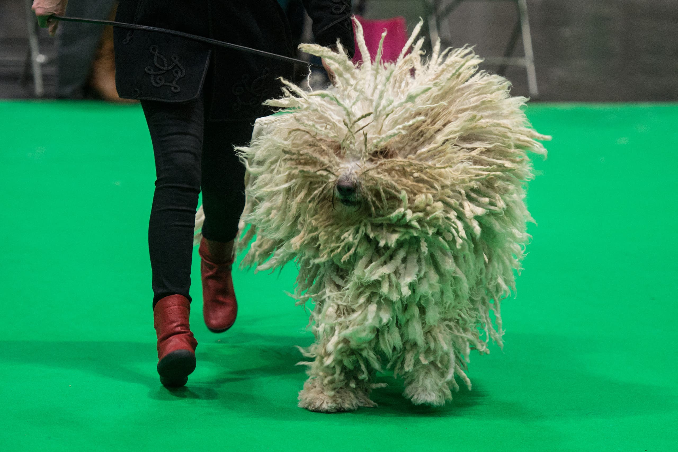 A woman runs with her Komondor dog as its judged in a show ring on the second day of the Crufts dog show at the National Exhibition Centre in Birmingham, central England, on March 8, 2019. (File photo: AFP)