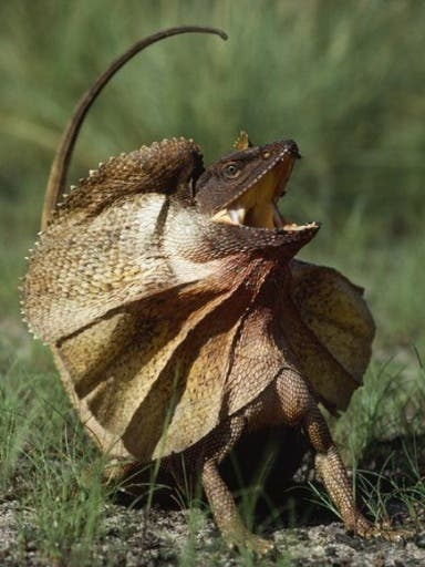 A menacing appearance with its giant frill, the frill-necked lizard, endemic to northern Australia and southern New Guinea, the docile, low-key critters are actually only interested in insects. (File photo)