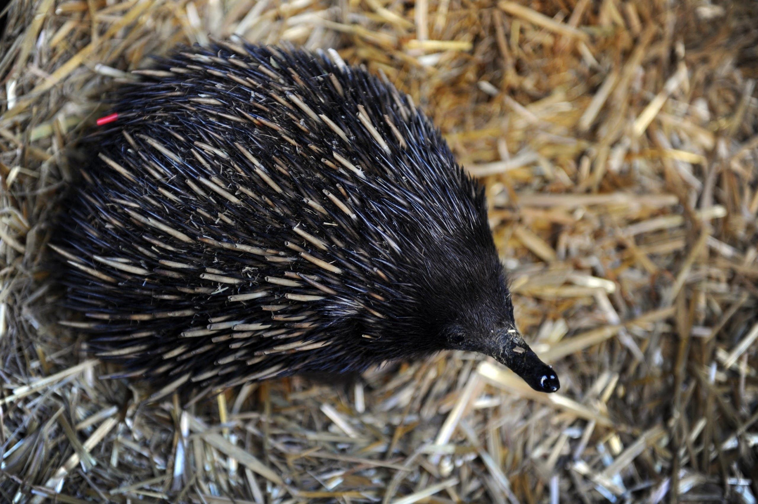 An echidna is displayed by wildlife personnel at Martin Place public square in Sydney's central district as Australia's zoo and aquarium association celebrate the National Threatened Species Day on September 7, 2012. (File photo: AFP)