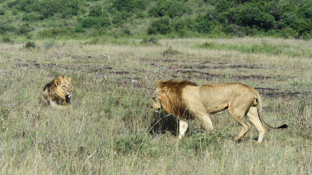 Lion straying outside Kenya's Nairobi National Park causes panic