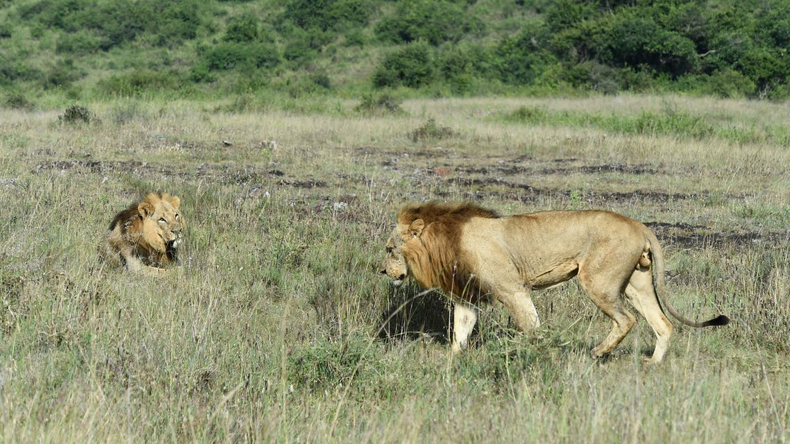 Two male lions are seen at Nairobi National Park in Nairobi on June 21, 2020. (File photo: AFP)