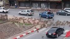 لن تصدق ما سترى.. شجار بين قردة وسط تايلاند بسبب كورونا