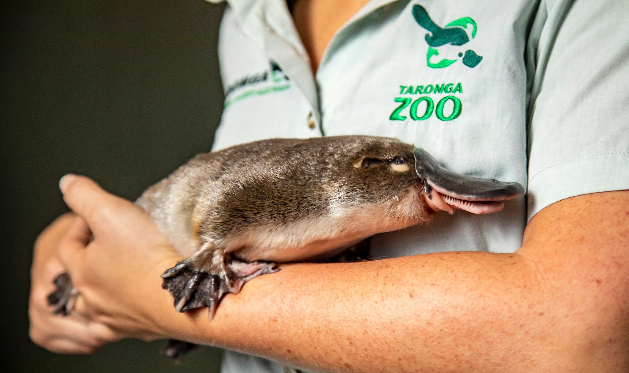 An undated handout photo received from Taronga Zoo on March 4, 2021 shows a platypus held in the arms of a zoo staff member. (File photo: AFP)