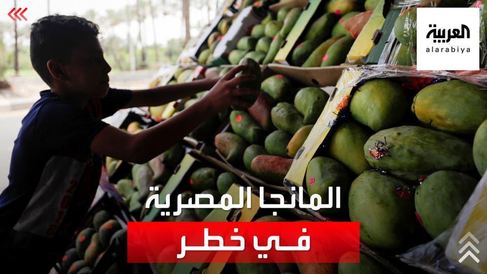 موجة حر غير متوقعة تتلف المانجو في موسم حصادها في مصر.. والأسعار غير مسبوقة