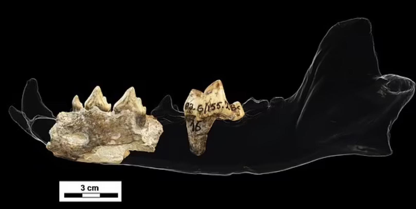 عظام الفك التي عثر عليها (ديلي ميل)