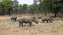 South Africa illegal rhino killings on the rise as COVID-19 curbs relaxed