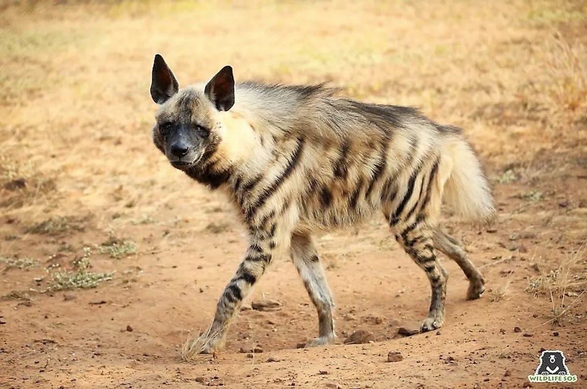 A photo of a striped hyena. (Twitter)