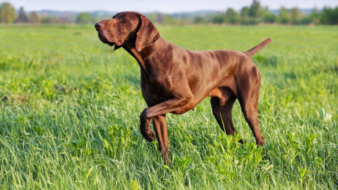 كلب صيد (تعبيرية - آيستوك)