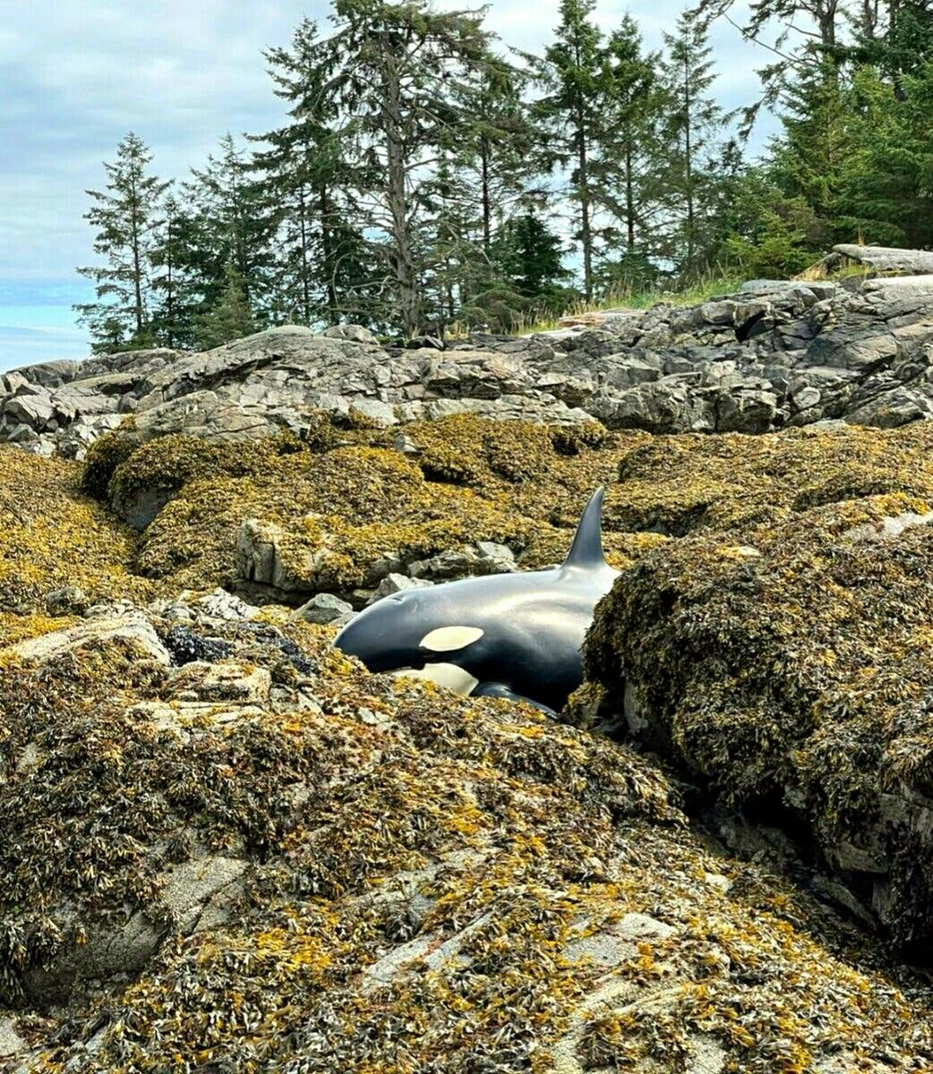 The orca that became stranded in Prince of Wales Island in Alaska on July 29 2021. (Twitter)