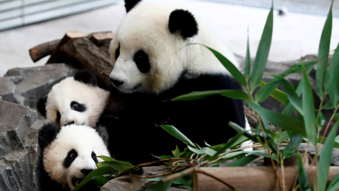Panda twin cubs Paule (Meng Yuan) and Pit (Meng Xiang) and mother panda Meng Meng are seen during their first appearance in their enclosure at the Berlin Zoo in Berlin (File photo: Reuters)