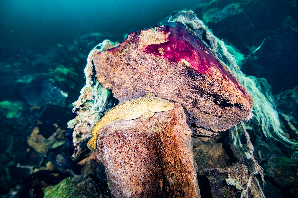 A photo shows a burbot fish resting on rocks covered in purple and white microbial mats inside the Middle Island Sinkhole in Lake Huron, Mich. (Phil Hartmeyer/NOAA Thunder Bay National Marine Sanctuary via AP)