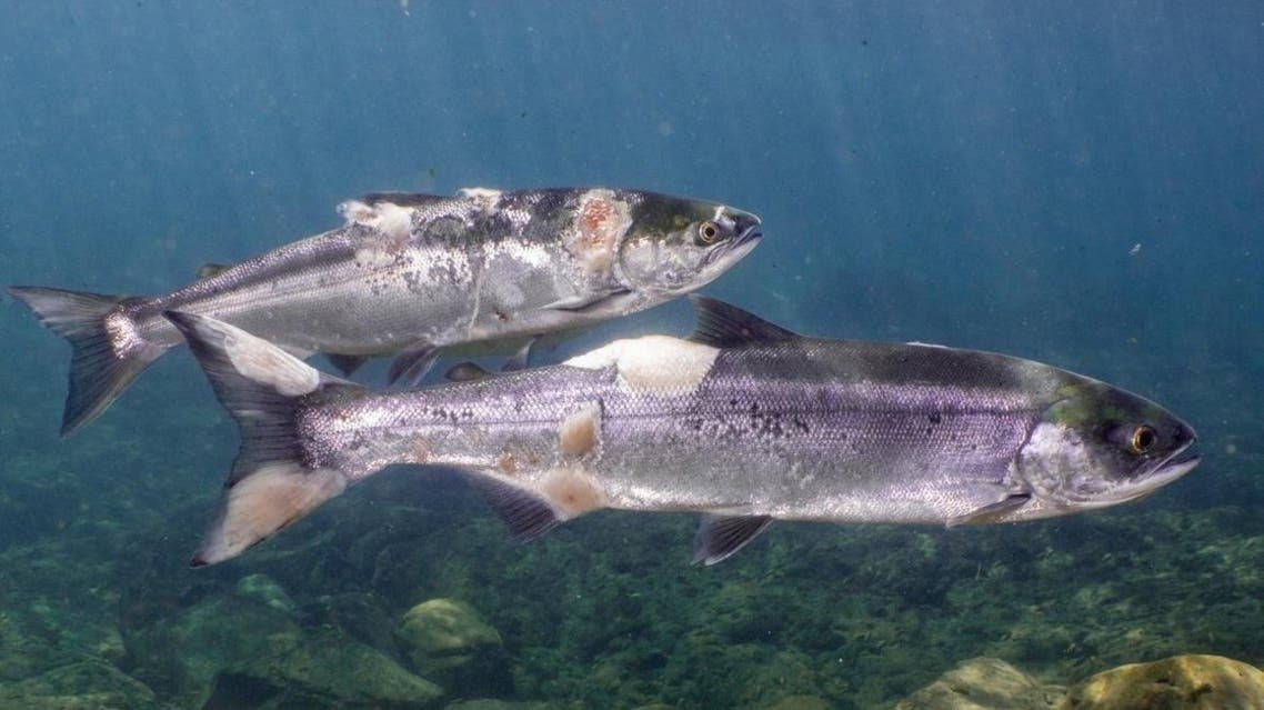 Salmon fish affected by heatwaves that caused hot temperature in water. (Twitter)