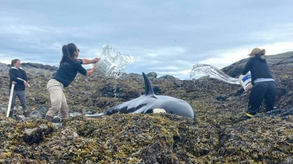 Rescuers throwing water on the stranded Orca in Prince of Wales Island, Alaska on July 29 2021. (Twitter)