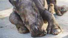 Baby southern white rhino born at Sharjah Safari