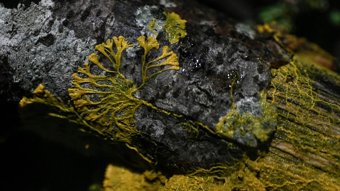 A picture taken on October 16, 2019 at the Parc Zoologique de Paris (Paris zoological gardens) shows a Physarum Polycephalum better known as a Blob, an unicellular organism neither plant, mushroom nor animal and capable of learning despite its lack of neuron.