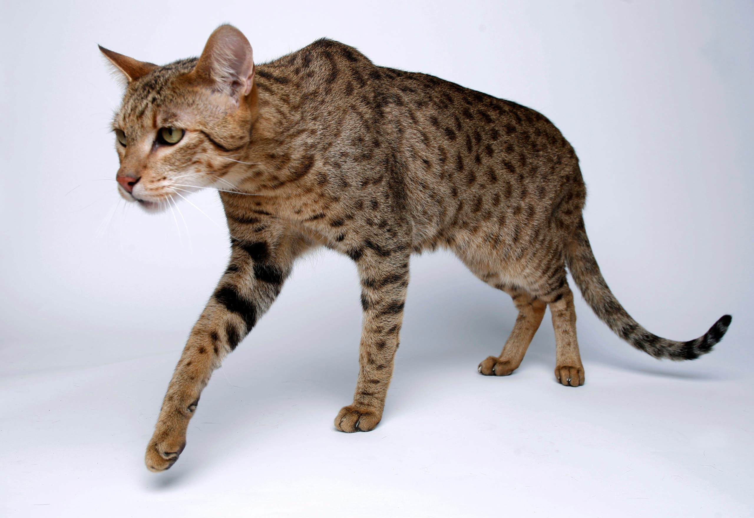 The Ashera is a mix between an African Serval, an Asian Leopard and a domestic cat that can weigh up to 30 pounds (14 kg). (Reuters)