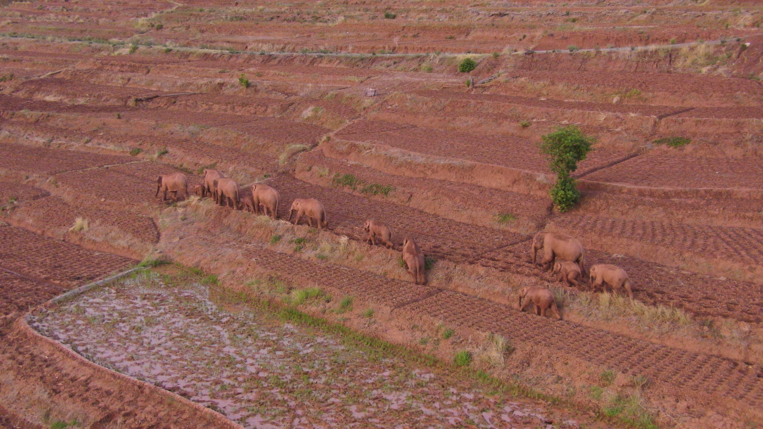 صورة التقطت في 6 يونيو الماضي لقطيع الأفيال