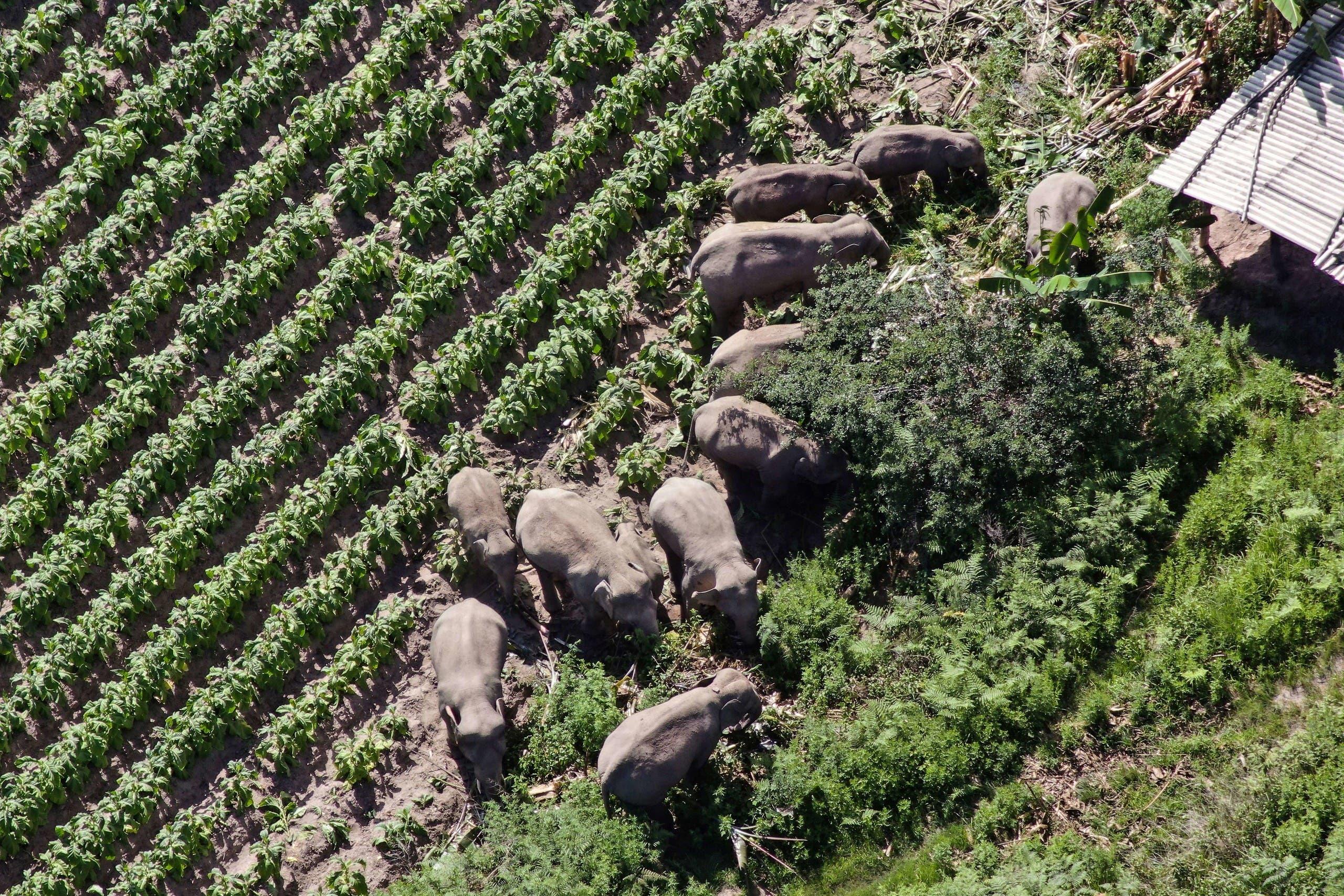 صورة التقطت في 13 يوليو الماضي لقطيع الأفيال