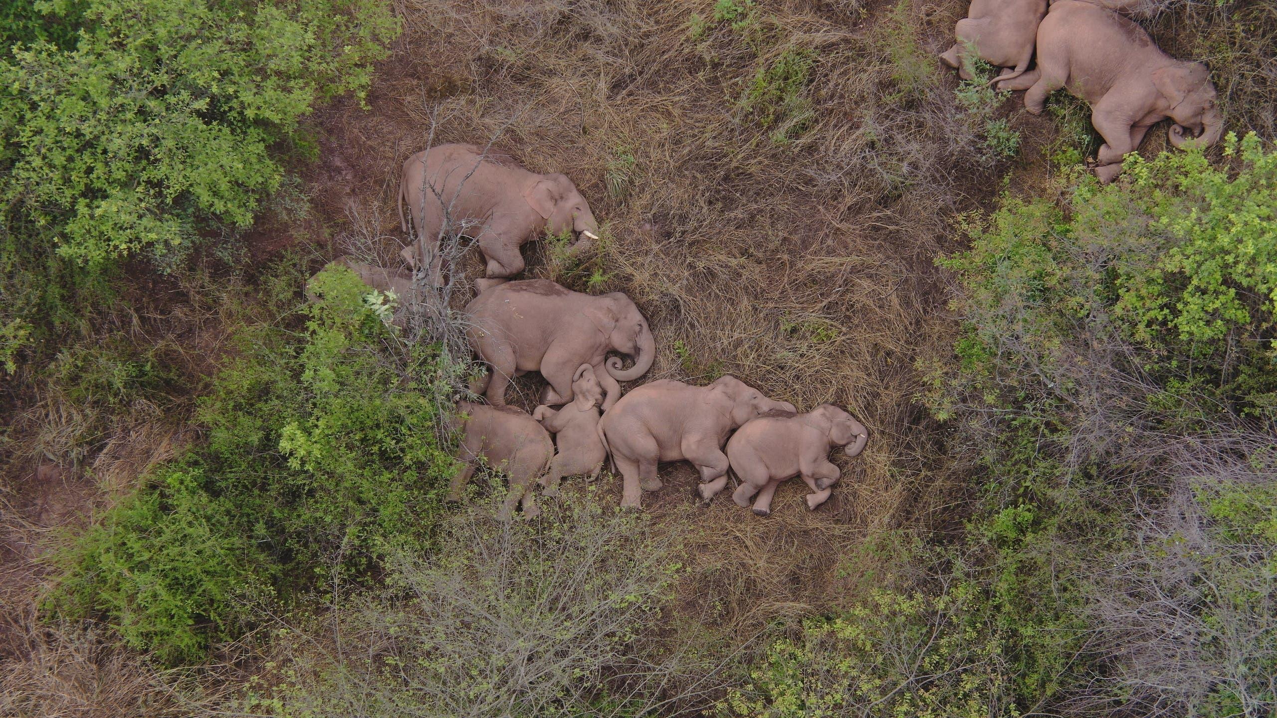 صورة التقطت في 7 يونيو الماضي لقطيع الأفيال