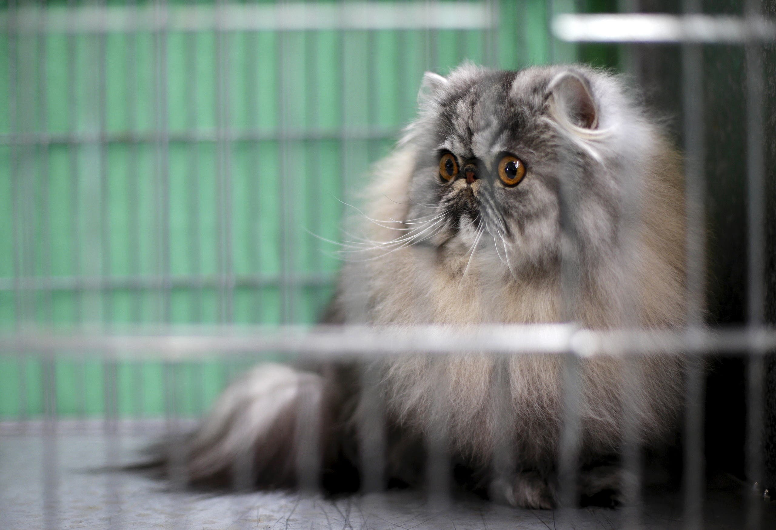 A cat is seen in a cage backstage before the prize ceremony during the Mediterranean Winner 2016 cat show in Rome, Italy, April 3, 2016. (Reuters)