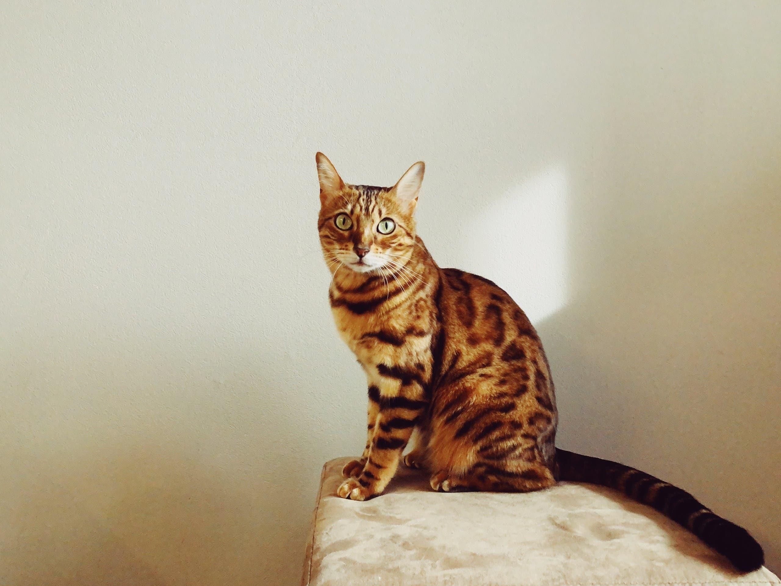 Bengal cat. (Unsplash, Igor Karimov)