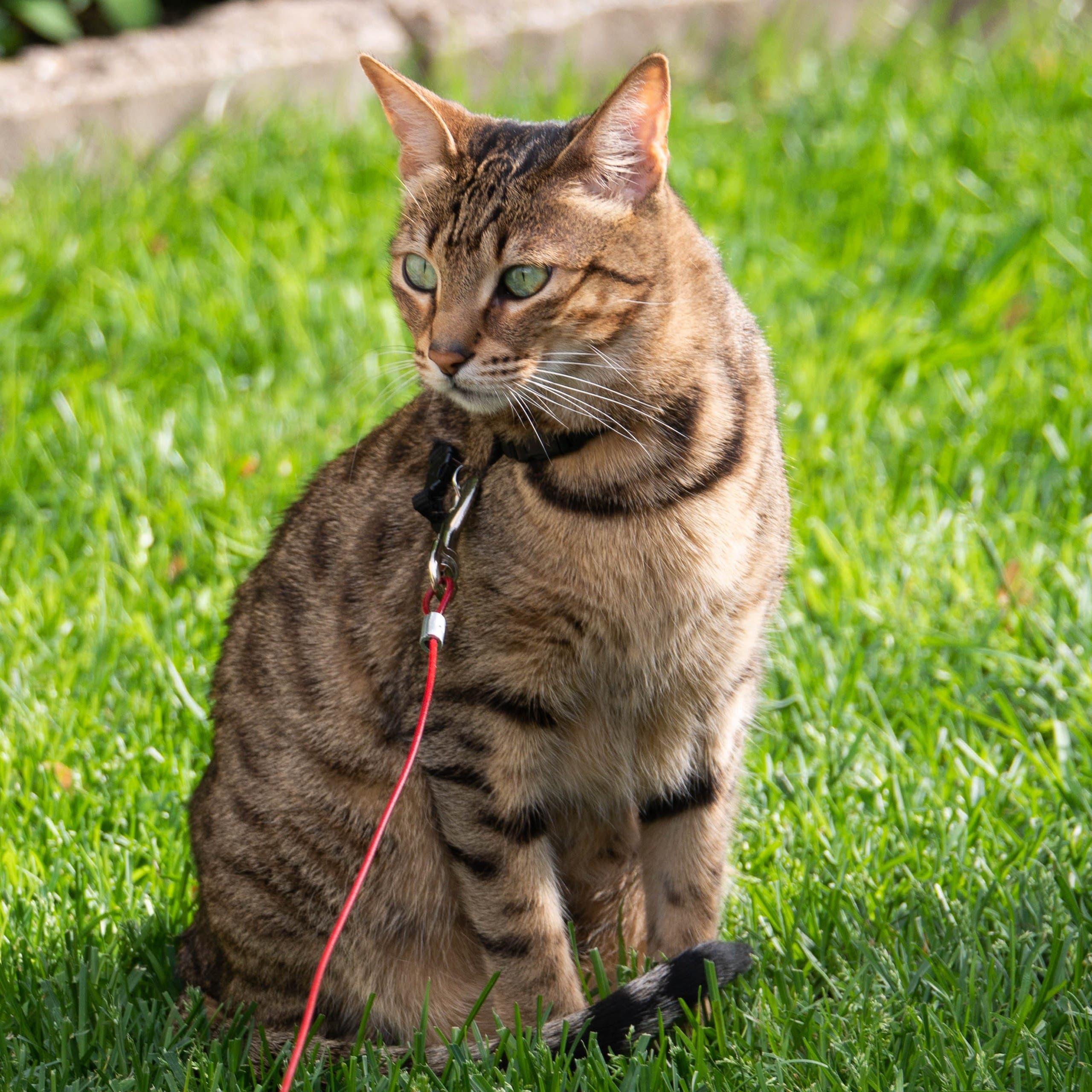 Savannah Cat. (Unsplash, J Photos)
