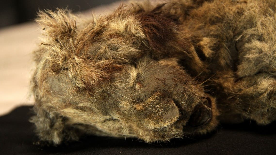 Frozen cave lion cub, nicknamed Sparta, found in the Siberian arctic. (Twitter)