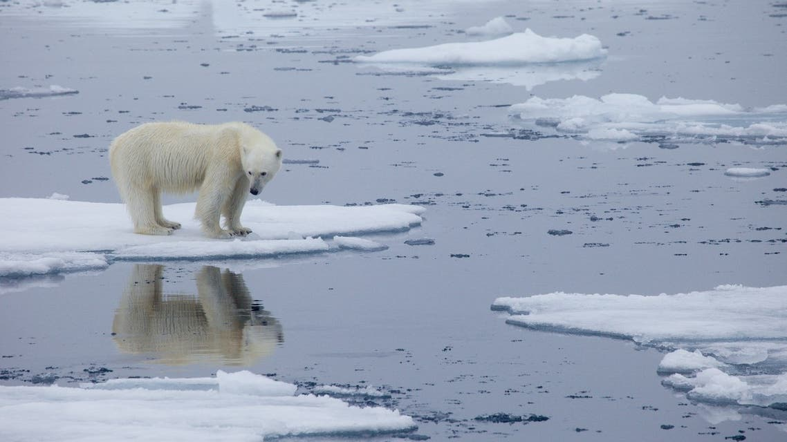 A handout photo made available on July 17, 2020 by Polar Bears International shows a polar bear standing on melting sea ice in Svalbard, Norway, in 2013. (File photo: AFP)