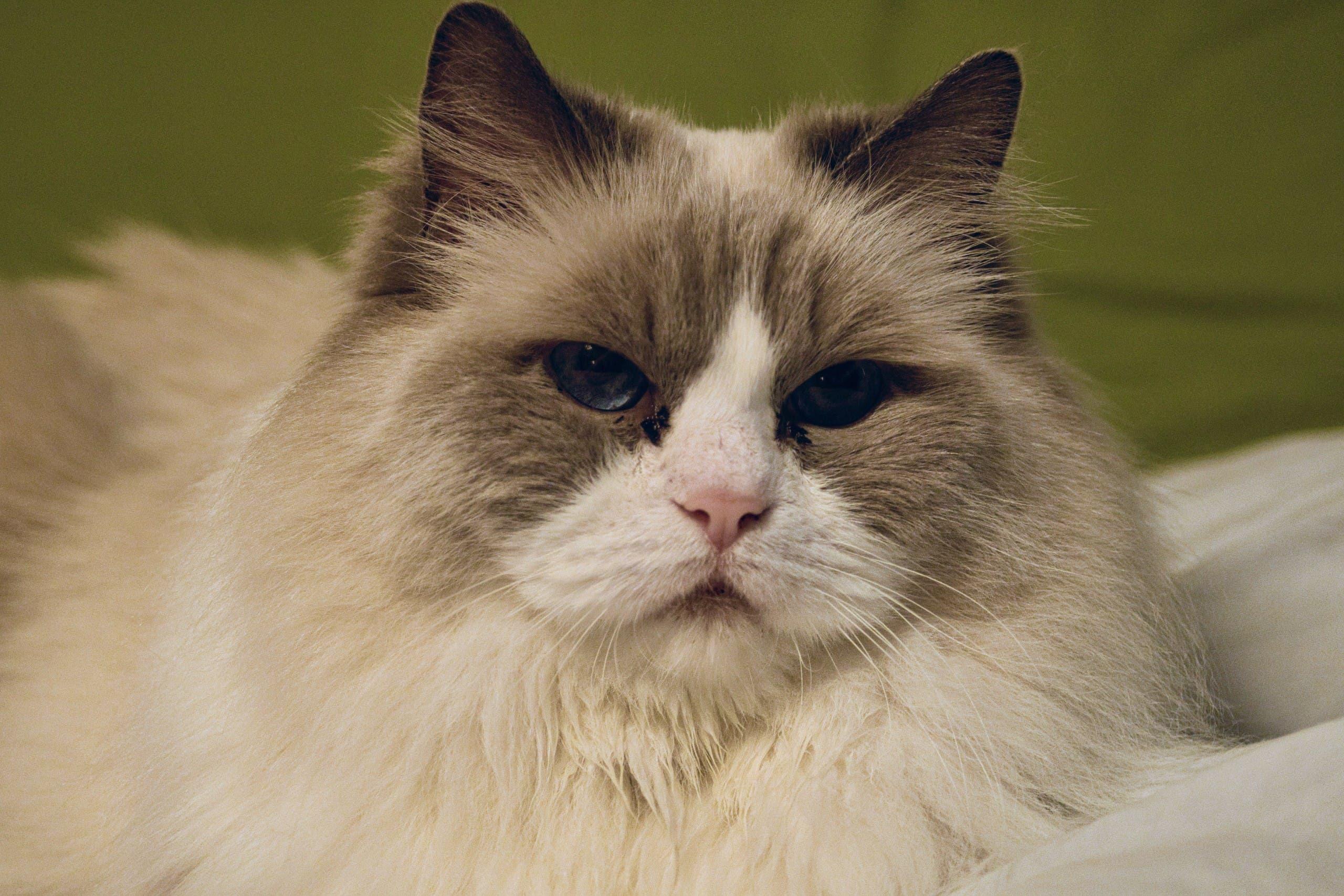 Ragdoll cat. (Unsplash, Yuval Zukerman)