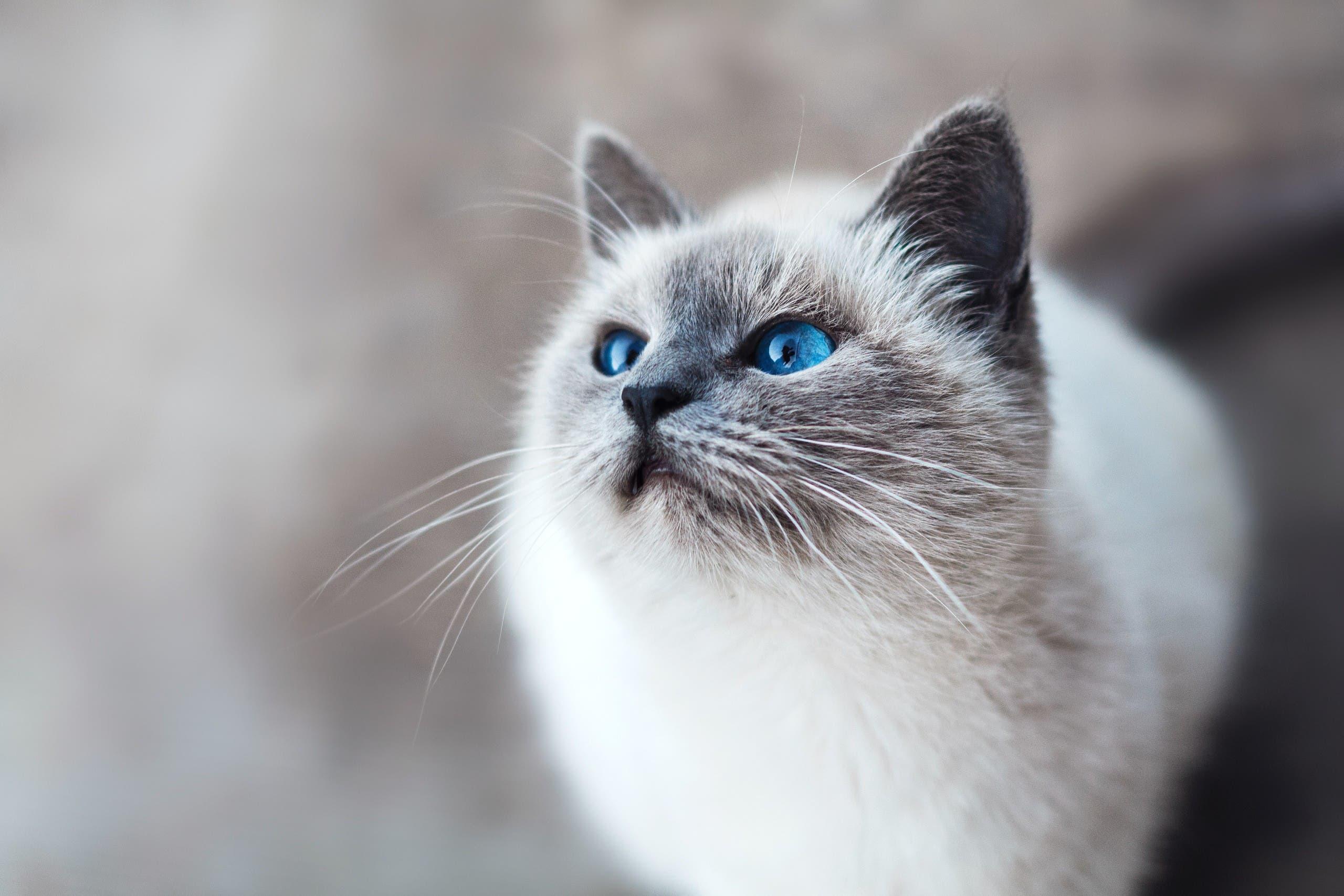Birman cat. (Unsplash, Mikhail Vasilyev)
