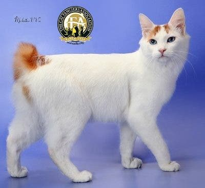 Pictured is a Japanese Bobtail cat, taken from the Cat Fanciers' Association. (CFA)