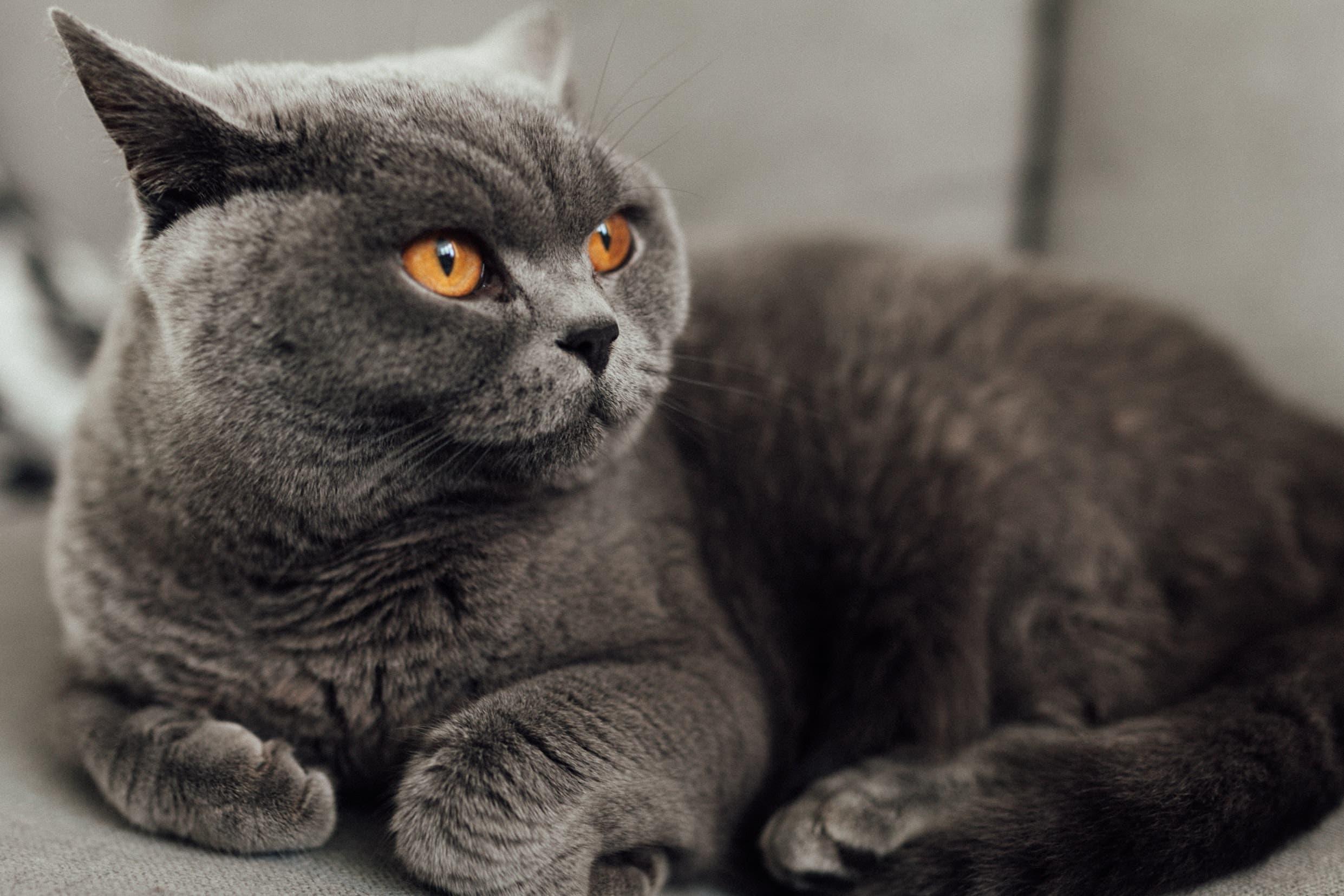 A British Shorthair Cat. (Unsplash, Josh Couch)