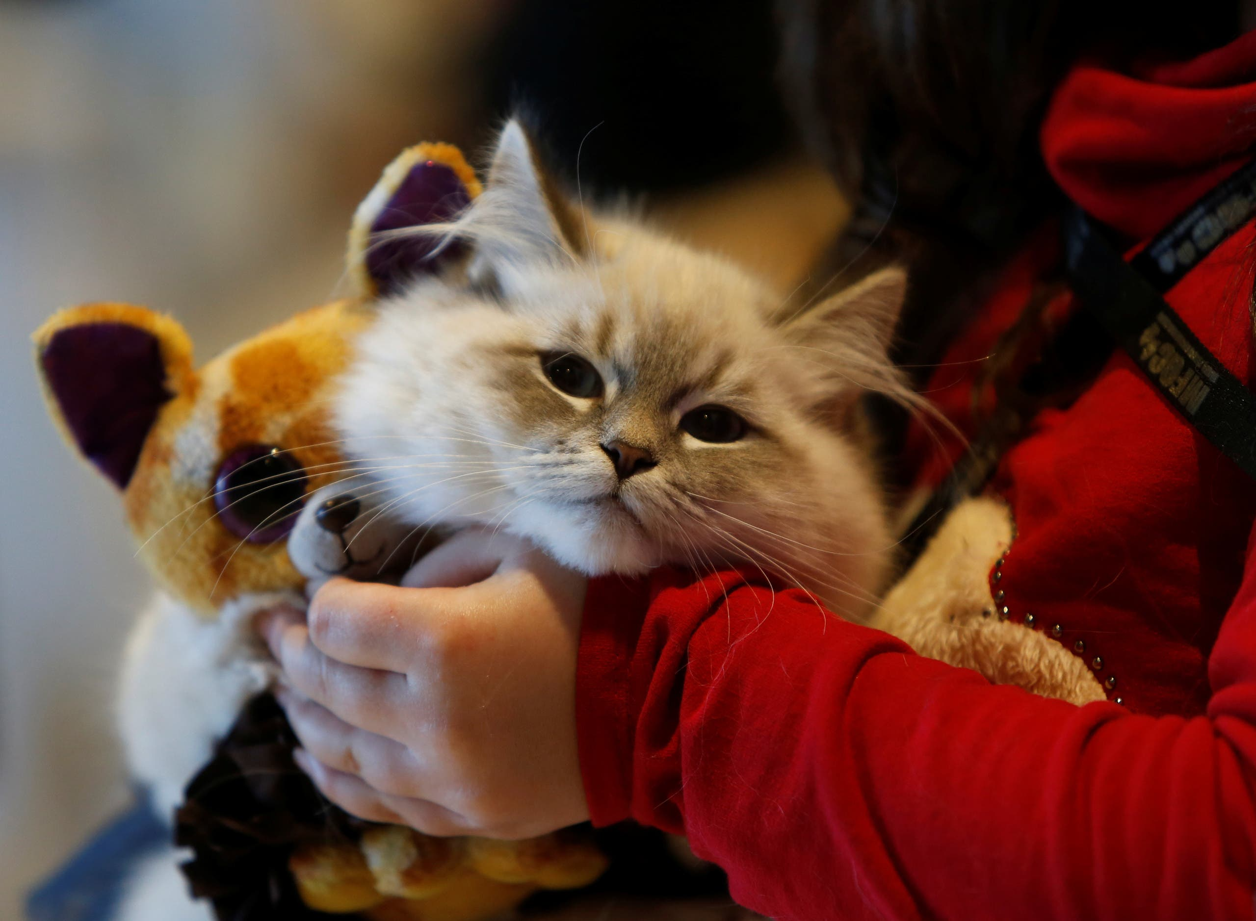 A Siberian cat and a soft toy are carried by its owner during the 73rd International Cat Shows organised by the Malta Feline Guardians Club at SmartCity Malta outside Kalkara, Malta, February 4, 2018. (Reuters)