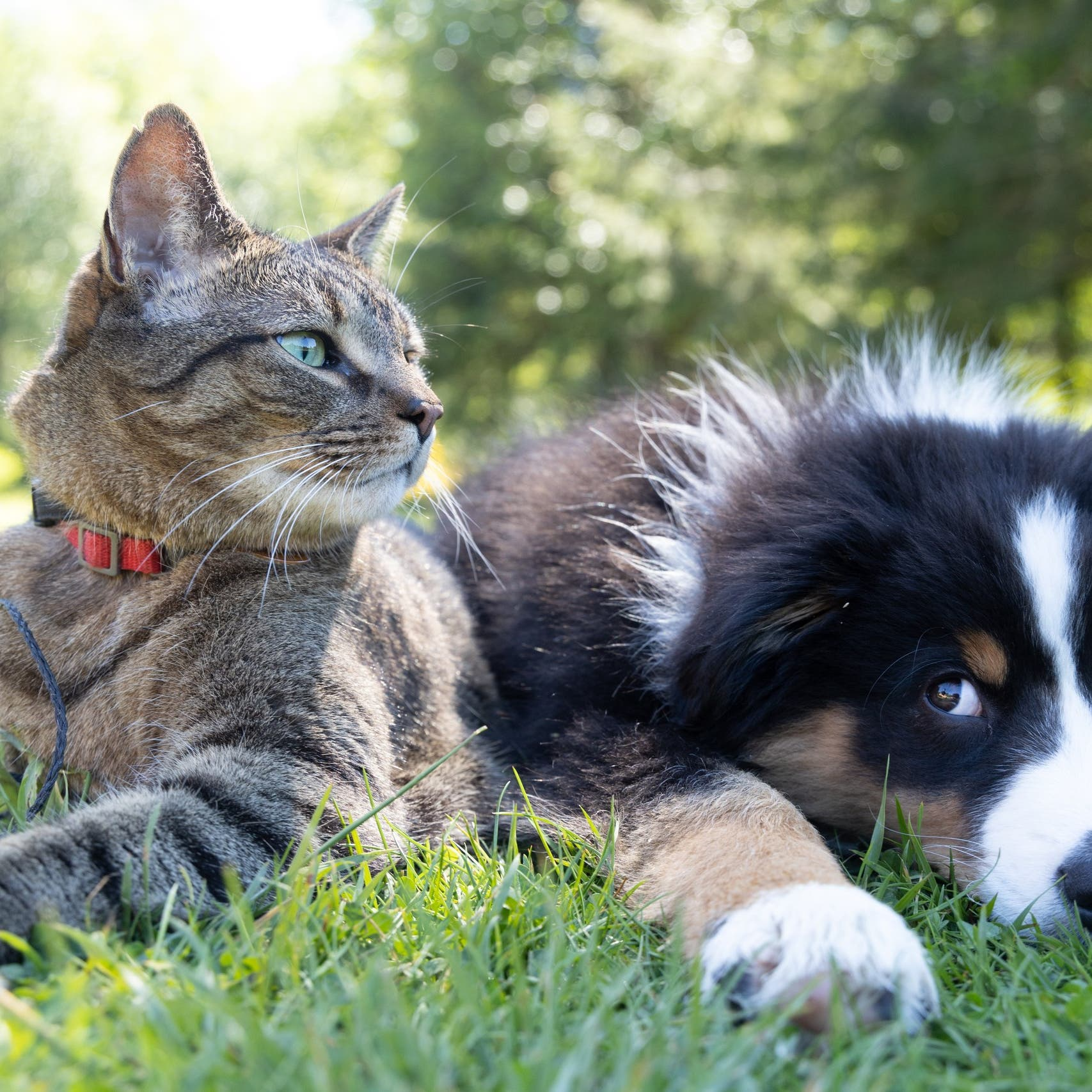 Top 10 cat breeds that are more likely to get along with dogs