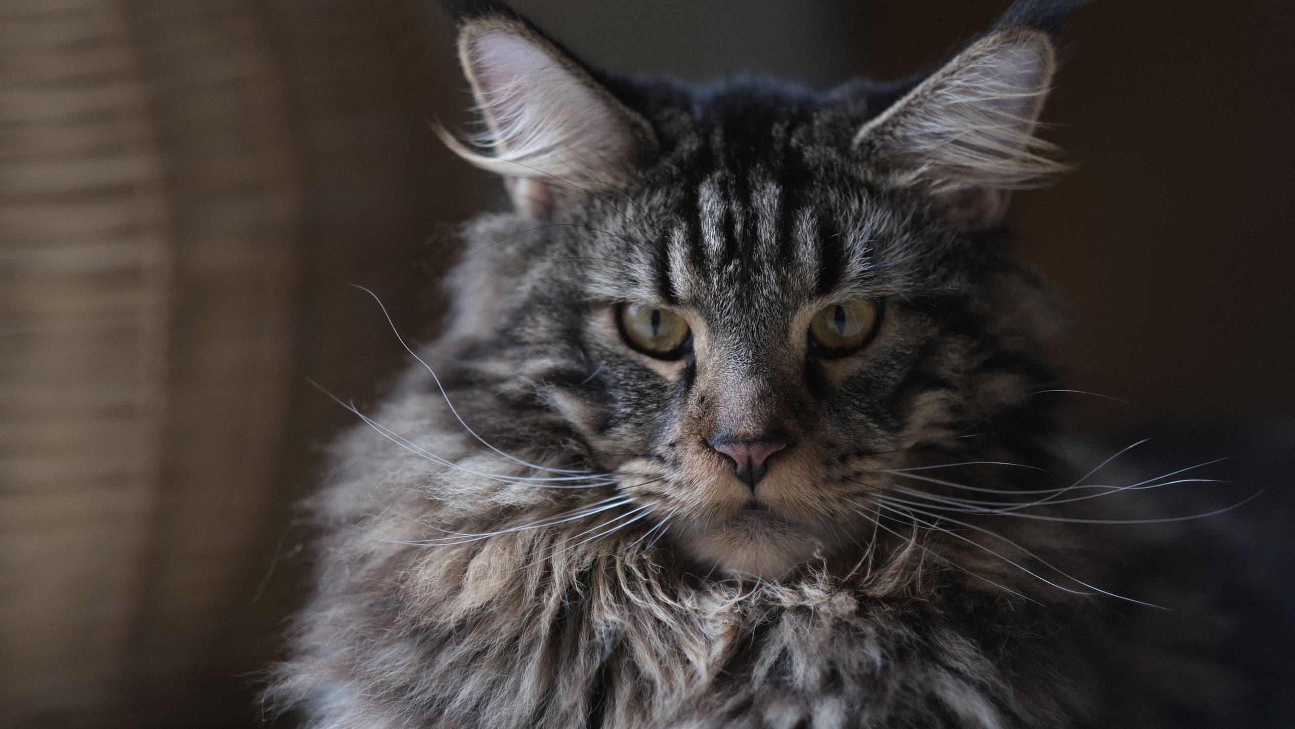 Maine Coon cat. (Unsplash, Bobbi Wu)